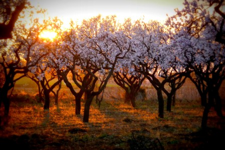 Almond Sunset Jigsaw Puzzle