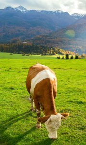 Alpine Cow Jigsaw Puzzle