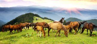Alpine Horses