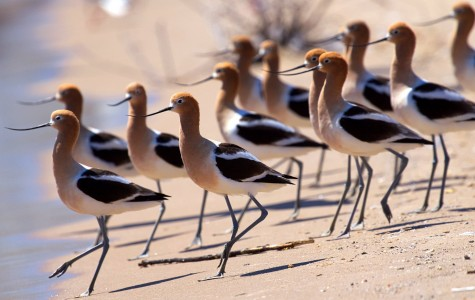 American Avocets Jigsaw Puzzle