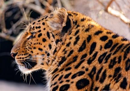 Amur Leopard Jigsaw Puzzle