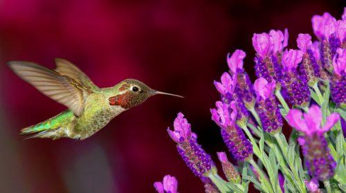 Anna's Hummingbird Jigsaw Puzzle