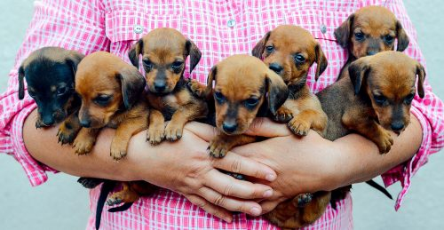 Armful of Puppies Jigsaw Puzzle