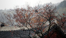 Asian Fruit Tree
