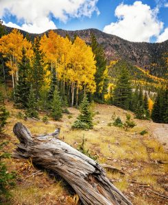 Aspens and Pines Jigsaw Puzzle