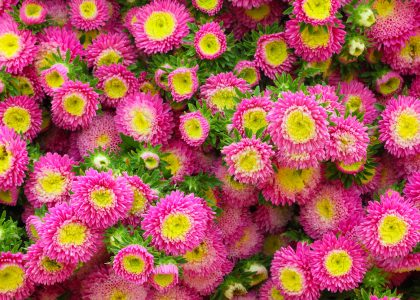 Asters Jigsaw Puzzle
