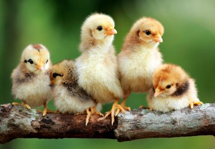 Baby Chicks Jigsaw Puzzle