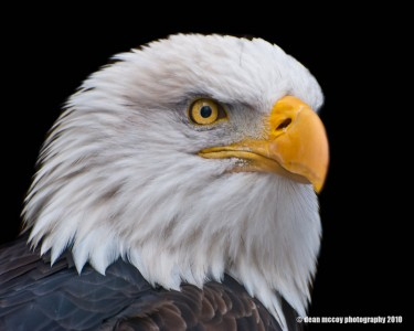Bald Eagle Jigsaw Puzzle