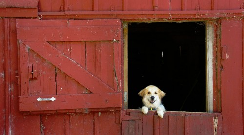 Barn Dog Jigsaw Puzzle
