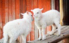 Barnyard Lambs