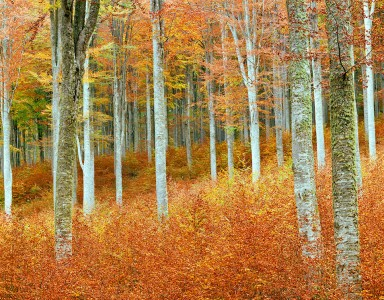 Beech Trees Jigsaw Puzzle