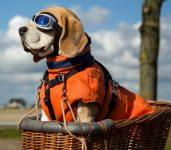 Biker Beagle