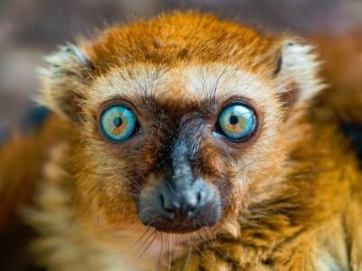 Blue-Eyed Lemur Jigsaw Puzzle