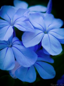 Blue Flower Jigsaw Puzzle