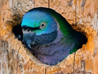 Blue Parrot Jigsaw Puzzle