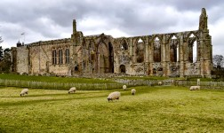 Bolton Abbey Sheep