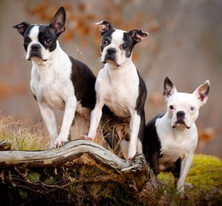 Boston Terriers Jigsaw Puzzle