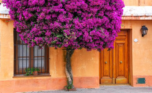Bougainvillea Tree Jigsaw Puzzle