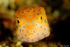 Indonesian Boxfish