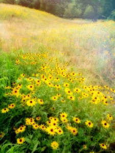 Brown-Eyed Susans Jigsaw Puzzle