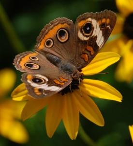 Buckeye Butterfly Jigsaw Puzzle