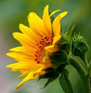 Budding Sunflower Jigsaw Puzzle