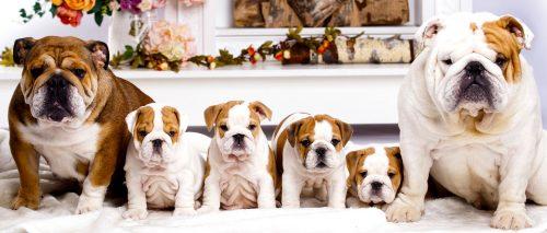Bulldog Family Jigsaw Puzzle