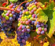 Cabernet Grapes Jigsaw Puzzle