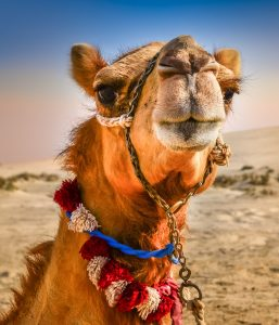 Camel Face Jigsaw Puzzle