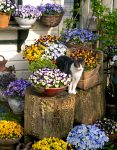 Cat in the Pansies