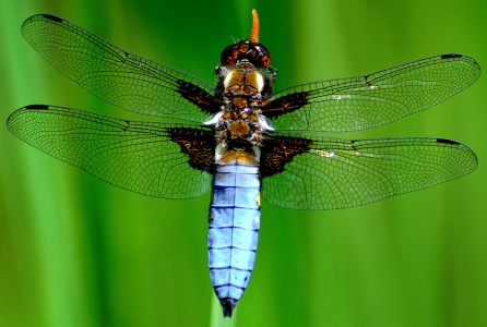 Chaser Dragonfly Jigsaw Puzzle