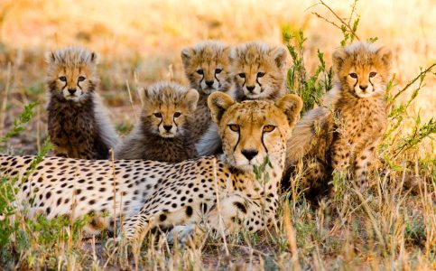 Cheetah Family Jigsaw Puzzle