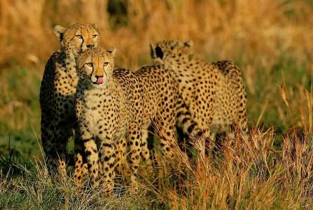 Cheetahs Jigsaw Puzzle