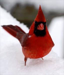 Closeup Cardinal Jigsaw Puzzle