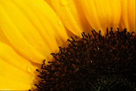 Sunflower Closeup Jigsaw Puzzle