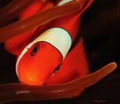 Clown Fish Face