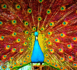 Colorful Peacock Jigsaw Puzzle