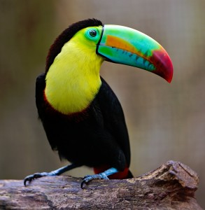Colorful Toucan Jigsaw Puzzle
