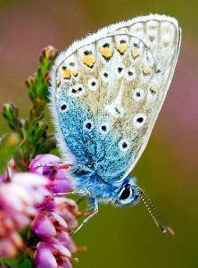 Common Blue Jigsaw Puzzle