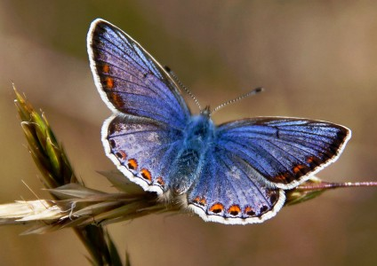 Common Blue Butterfly Jigsaw Puzzle