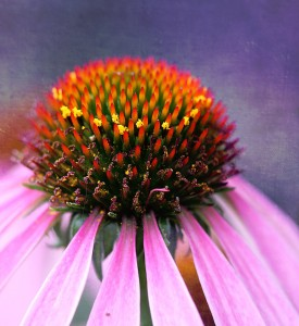 Coneflower Jigsaw Puzzle