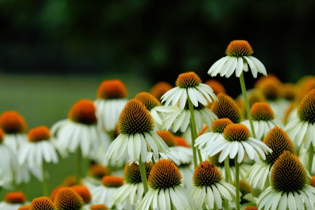 Coneflowers Jigsaw Puzzle