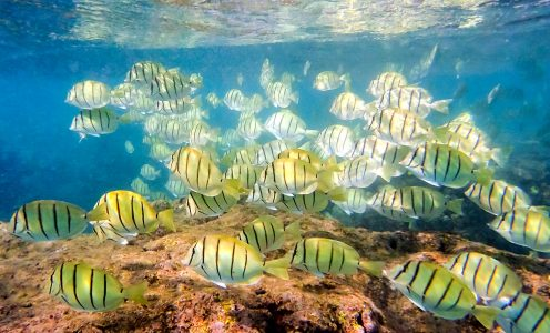 Convict Surgeonfish Jigsaw Puzzle