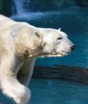 Cool Polar Bear