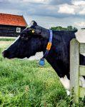 Cow 71