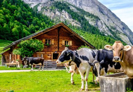 Cows in the Alps Jigsaw Puzzle