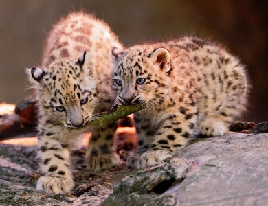 Cubs and a Stick Jigsaw Puzzle