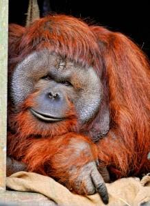Curious Orangutan Jigsaw Puzzle