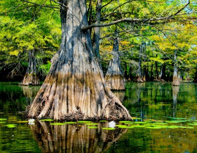 Cypress Tree Jigsaw Puzzle