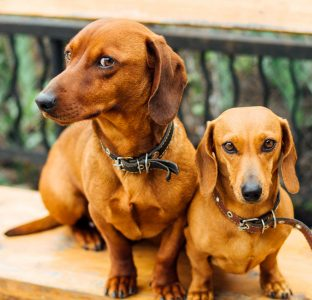 Dachshunds Jigsaw Puzzle